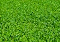 Fordele ved at vælge rullegræs